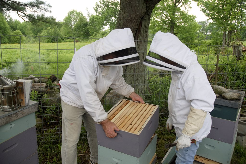 Bee Keeper Inspecting Frame From Honey Bee Hive : Stock Photo