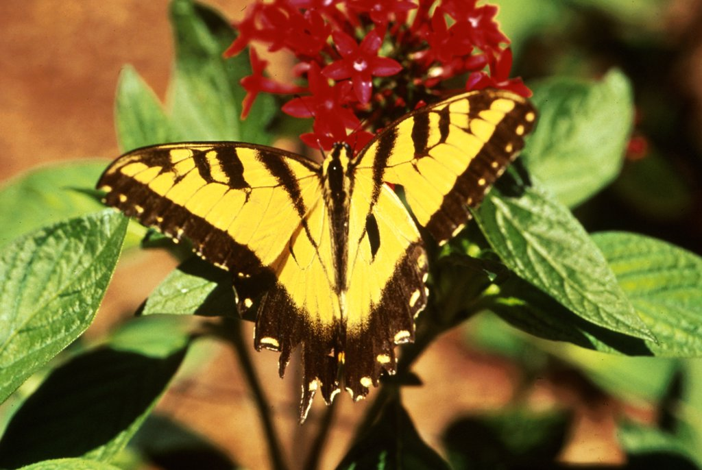 Tiger Swallowtail Butterfly On Egyptian Star Cluster Flower : Stock Photo
