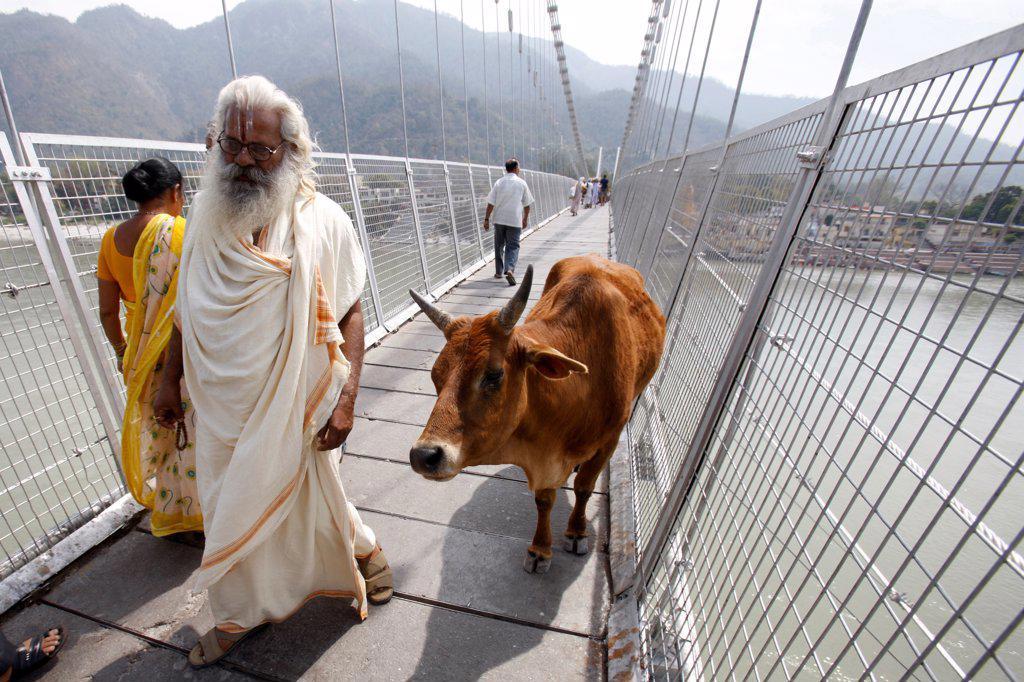 Stock Photo: 1899-68883 Holy cow on Ram Jula bridge