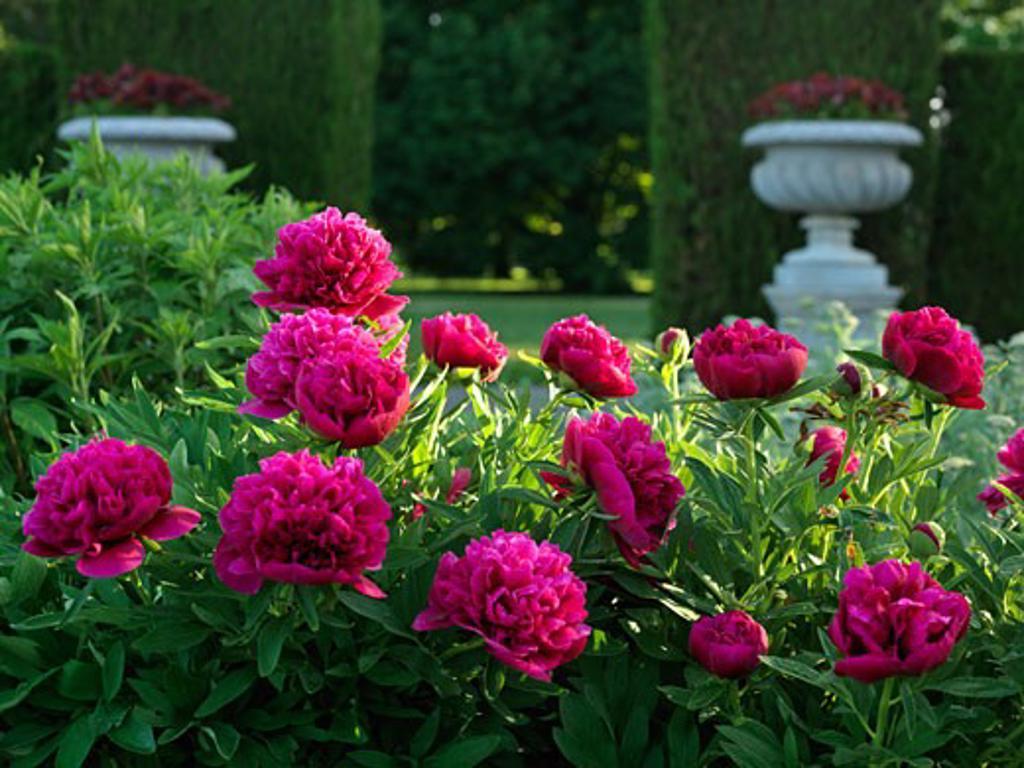Canada Ontario Niagara Falls School of Horticulture peony plants in garden Genus Paeonia family Paeoniaceae : Stock Photo