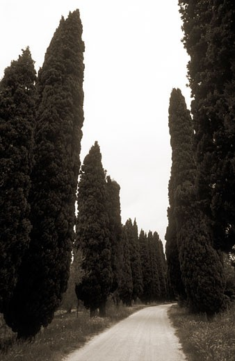 Italy Pienza Tuscany roadway lined with cypress trees black and white : Stock Photo