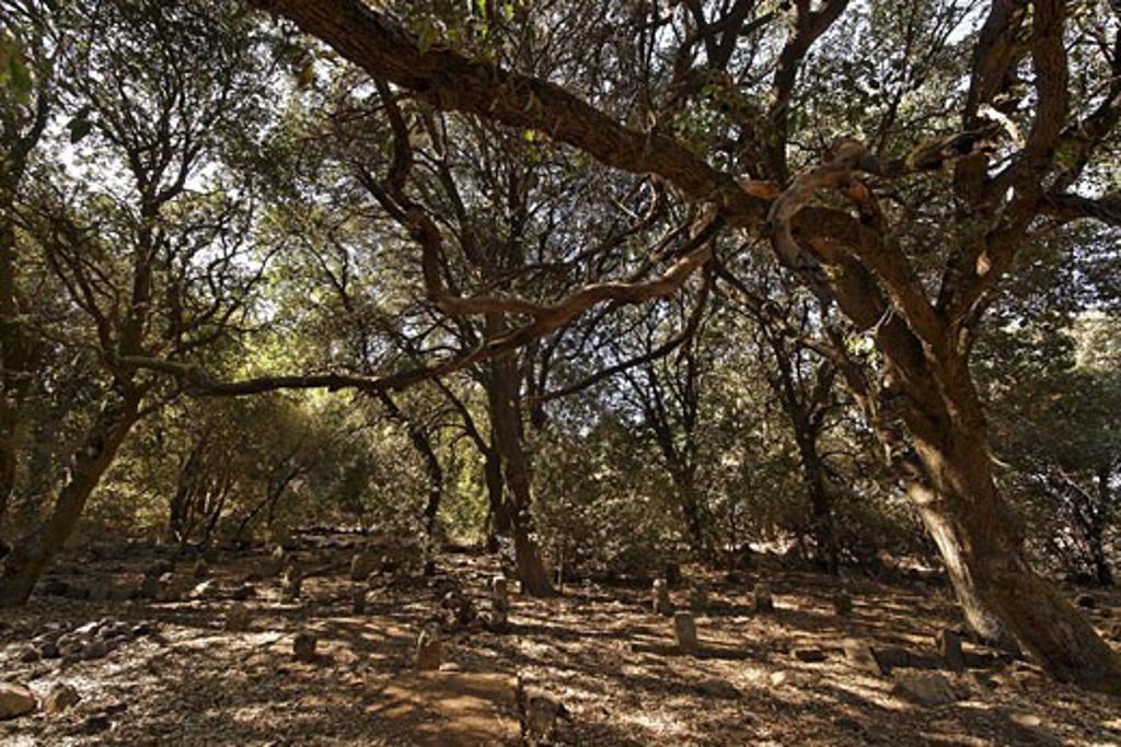 Oak trees in the Circassian cemetery near Marom Golan : Stock Photo