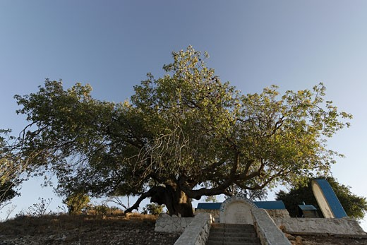 Atlantic Pistachio tree by the tomb of Rabbi Tarfon in Kadita : Stock Photo