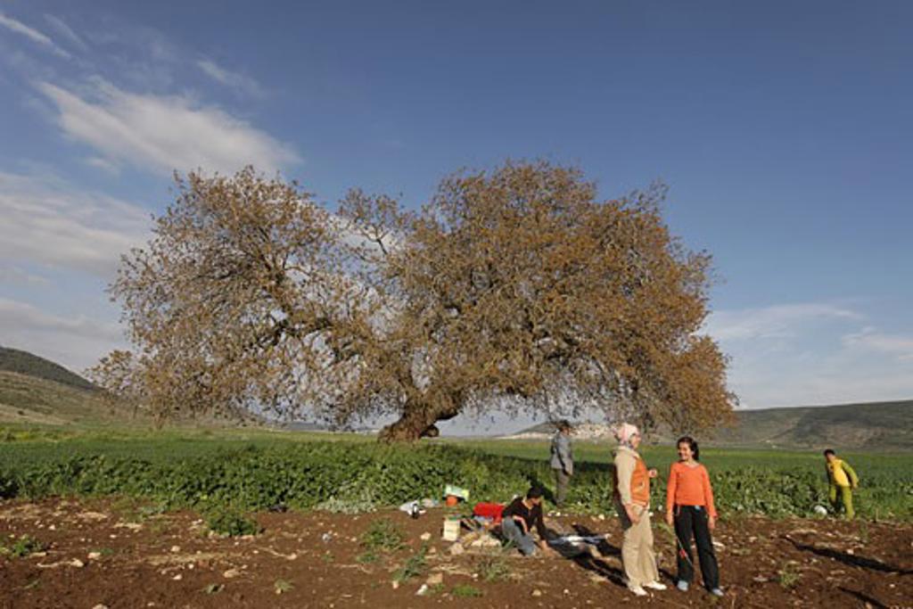 Atlantic Pistachio Pistacia Atlantica tree in Beth Natofa valley : Stock Photo