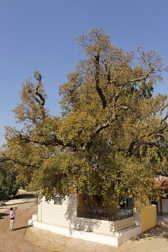 Mount Tabor Oak tree in Banias the Golan Heights : Stock Photo