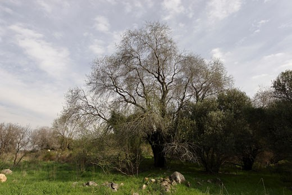 Almond tree Amygdalus Communis : Stock Photo