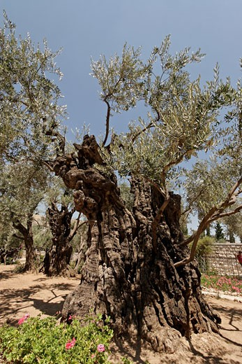 Olive tree in the Garden of Gethsemane : Stock Photo
