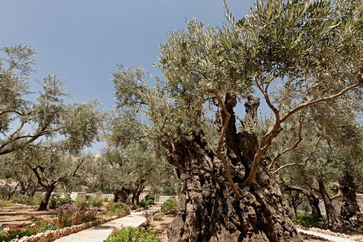 Olive trees in the Garden of Gethsemane : Stock Photo