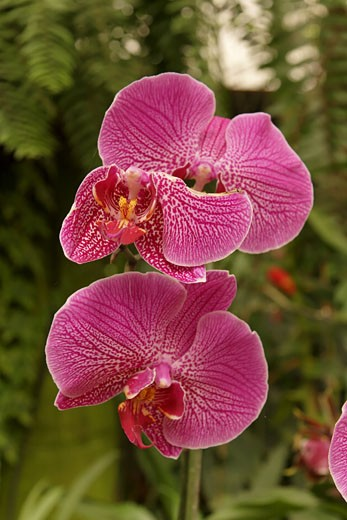 Stock Photo: 1904-6283 Orchids in Utopia Park