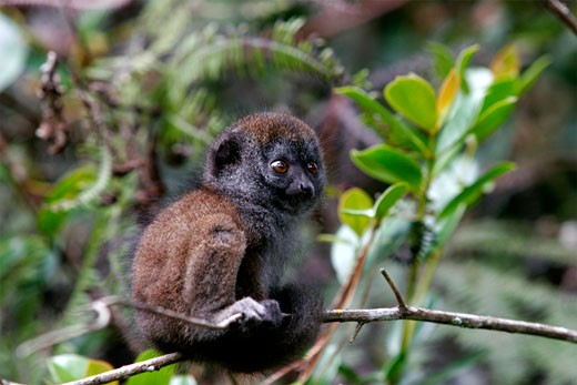 A baby lemur in the rainforest of Madagascar on the high plains : Stock Photo