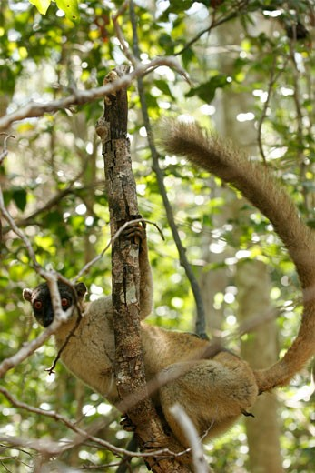 Stock Photo: 1907-1040 A lemur of the Antsirabe National Park
