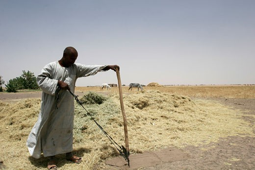 A sudanese working in a cereal plantation : Stock Photo