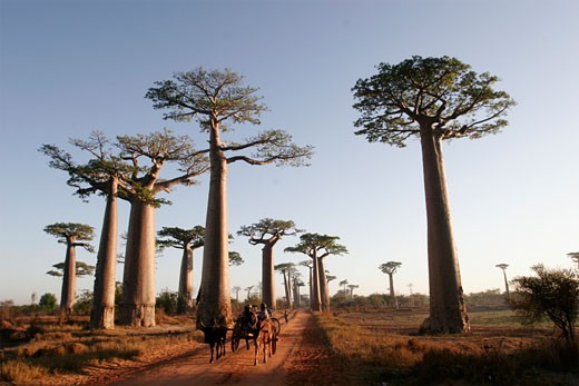Stock Photo: 1907-1106 The baobabs alley of Morondava  at the foreground  a classical cow sulky
