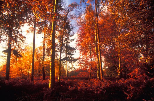 Stock Photo: 1909-1529 Autumn colours fall colors glow in last rays of evening sun in woods England UK GB United Kingdom Great Britain Europe EU