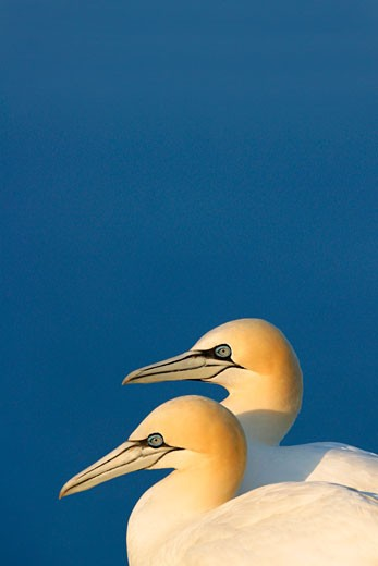 Gannet Morus Bassanus Northern Gannet 2 two adults pair couple breeding bonded in evening sun in summer against blue sky Saltee Islands Ireland Europe EU : Stock Photo