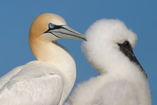 Gannet chick and mother preening Morus Bassanus Northern Gannet colony on the Saltee Islands Kilmore County Wexford Ireland Europe EU : Stock Photo