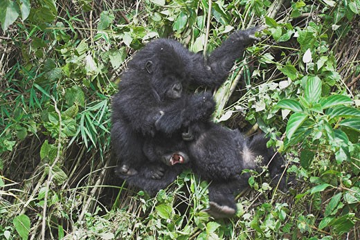 Stock Photo: 1909-1908 Mountain Gorilla Gorilla Beringei baby gorillas play fighting portrait against vegetation in the bamboo forest in Parc Nationale des Volcans Rwanda