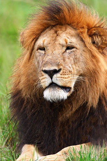 Stock Photo: 1909-2067 Male adult maned Lion relaxes in grassland of the savannah Masai Mara National Nature Reserve Kenya East Africa