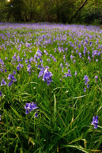 Stock Photo: 1909-2293 Bluebell blue bell wood near Shrewsbury Shropshire in May England UK United Kingdom GB Great Britain British Isles