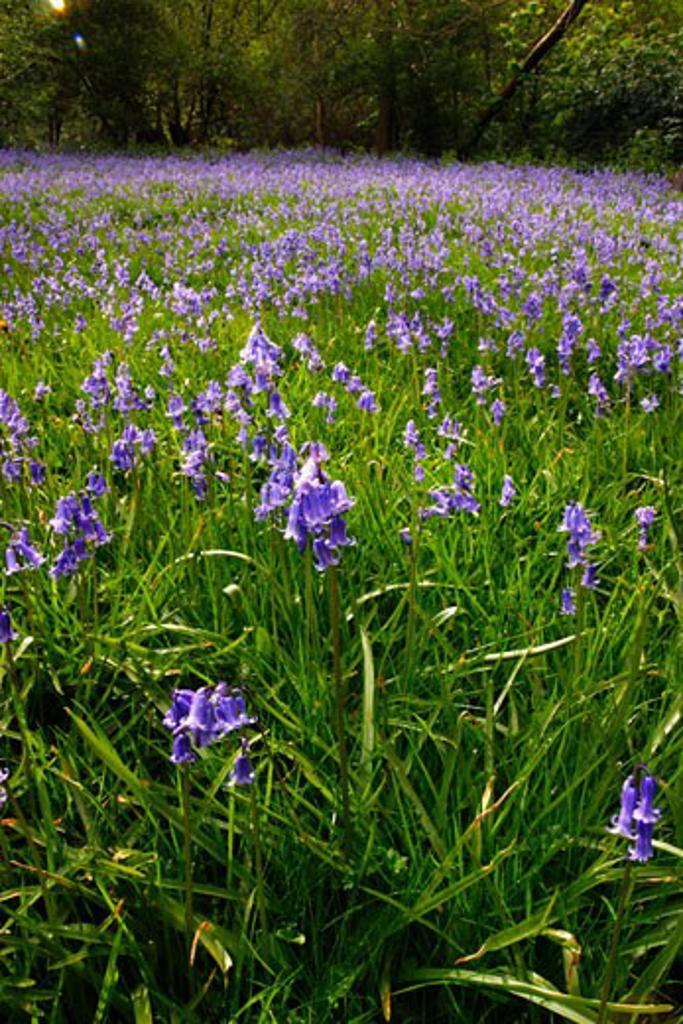 Bluebell blue bell wood near Shrewsbury Shropshire in May England UK United Kingdom GB Great Britain British Isles : Stock Photo