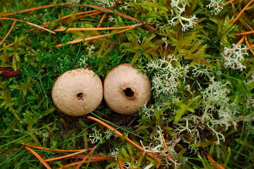 Stock Photo: 1909-2334 Common Puffballs fungi fungus Lycoperdon Perlatum growing in moss and lichen in woodland Shropshire England UK United Kingdom GB Great Britain British Isles Europe EU