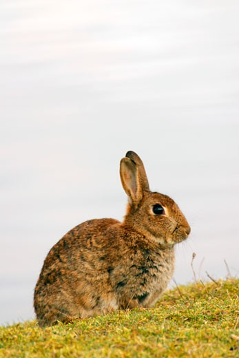 Stock Photo: 1909-2343 Rabbit grazing in evening sun in spring springtime Shropshire England UK United Kingdom GB Great Britain British Isles Europe EU