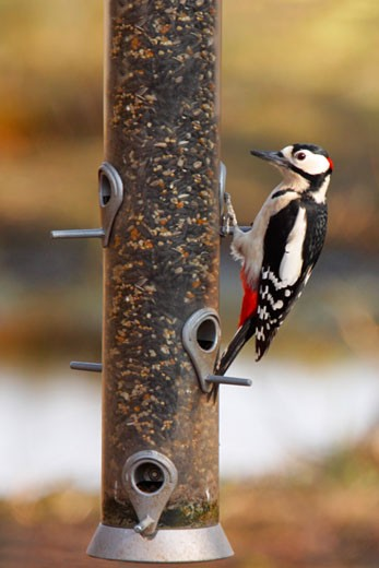 Stock Photo: 1909-2429 Great Spotted Woodpecker Dendrocopos Major on bird feeder Shropshire England UK United Kingdom GB Great Britain British Isles Europe EU