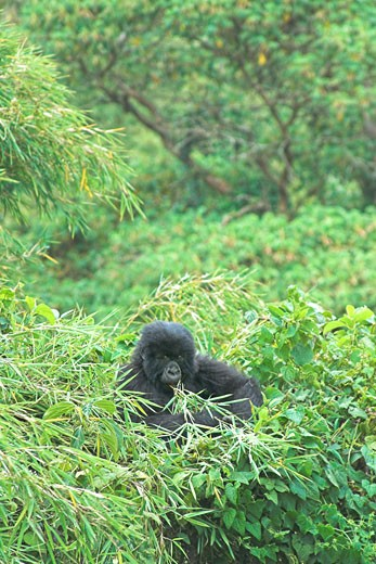 Mountain Gorilla Gorilla Beringei young baby gorilla playing in bamboo forest in Parc Nationale des Volcans Virunga Volcanoes NP Rwanda Central Africa : Stock Photo