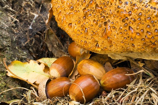 Stock Photo: 1909-3275 Weeping polypore inonotus dryadeus fungus with autumn acorns England UK United Kingdom GB Great Britain British Isles Europe EU