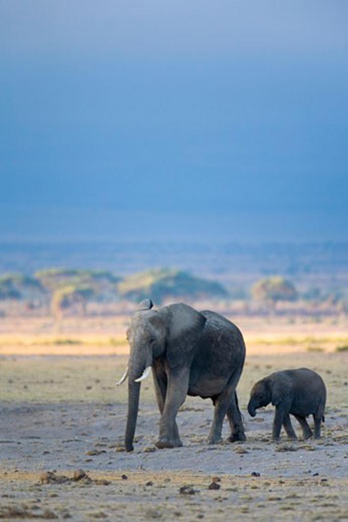 Stock Photo: 1909-3541 African elephant Loxodonta Africana mother with baby walking across savannah plain in early morning light Amboseli National Park Kenya East Africa