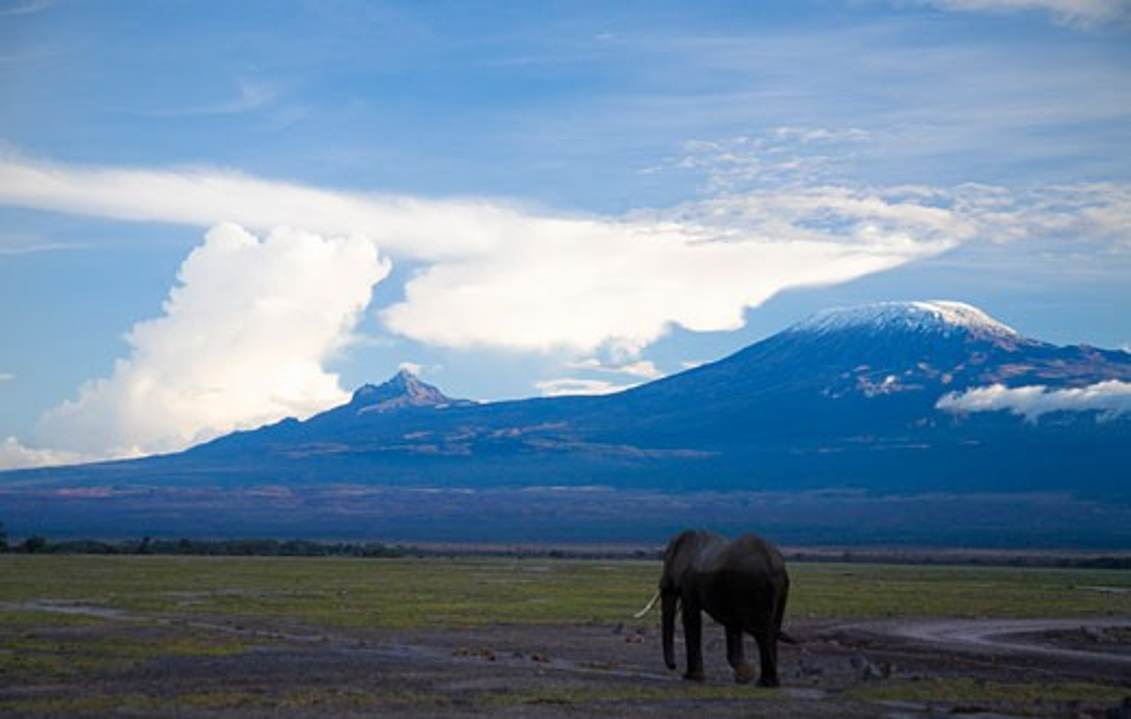 Elephant walking in Amboseli National Park with sunset on Mount Kilimanjaro behind Kenya East Africa : Stock Photo