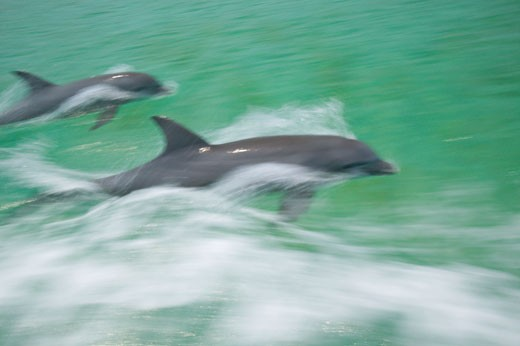 Stock Photo: 1911-1143 Blurred Motion  panning effect  Bottlenose Dolphins Tursiops truncatus Caribbean Sea