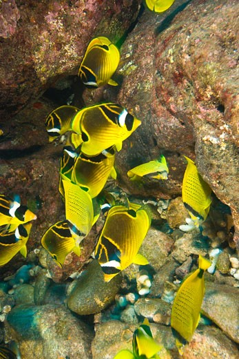 Stock Photo: 1911-1427 schooling Butterflyfish  Puka Maui Dive  adventure diving with North Shore Explorers  in the rarely dived North Shore of Maui  Hawaii  USA