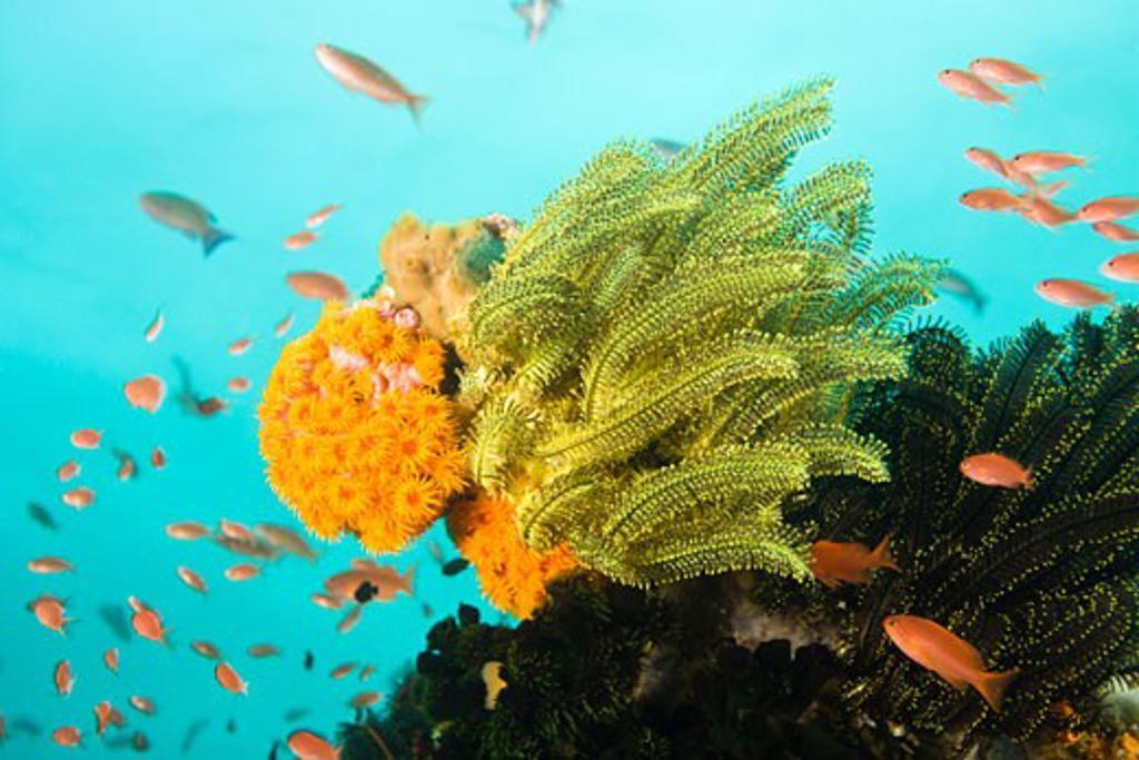 Anthias fish Pseudanthias squamipinnis Underwater Sea Life at Verde Island near Puerto Gallera  Philippines  SE Asia : Stock Photo
