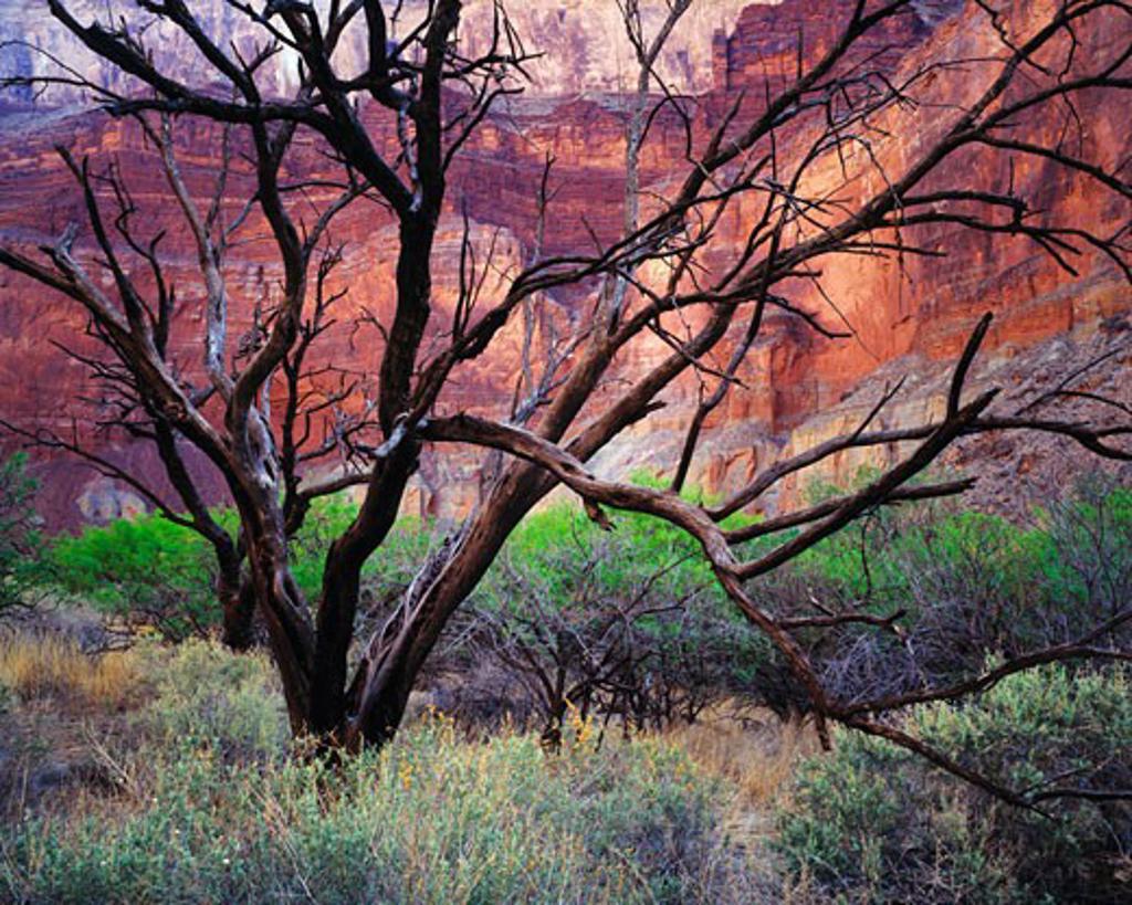 Catclaw Tree Snags  Grand Canyon National Park  Arizona : Stock Photo