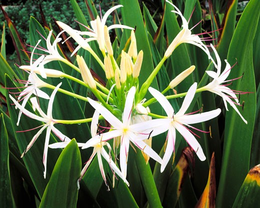 Stock Photo: 1912-1303 Spider Lily  Spouting Horn  Island of Kauai  Hawaii