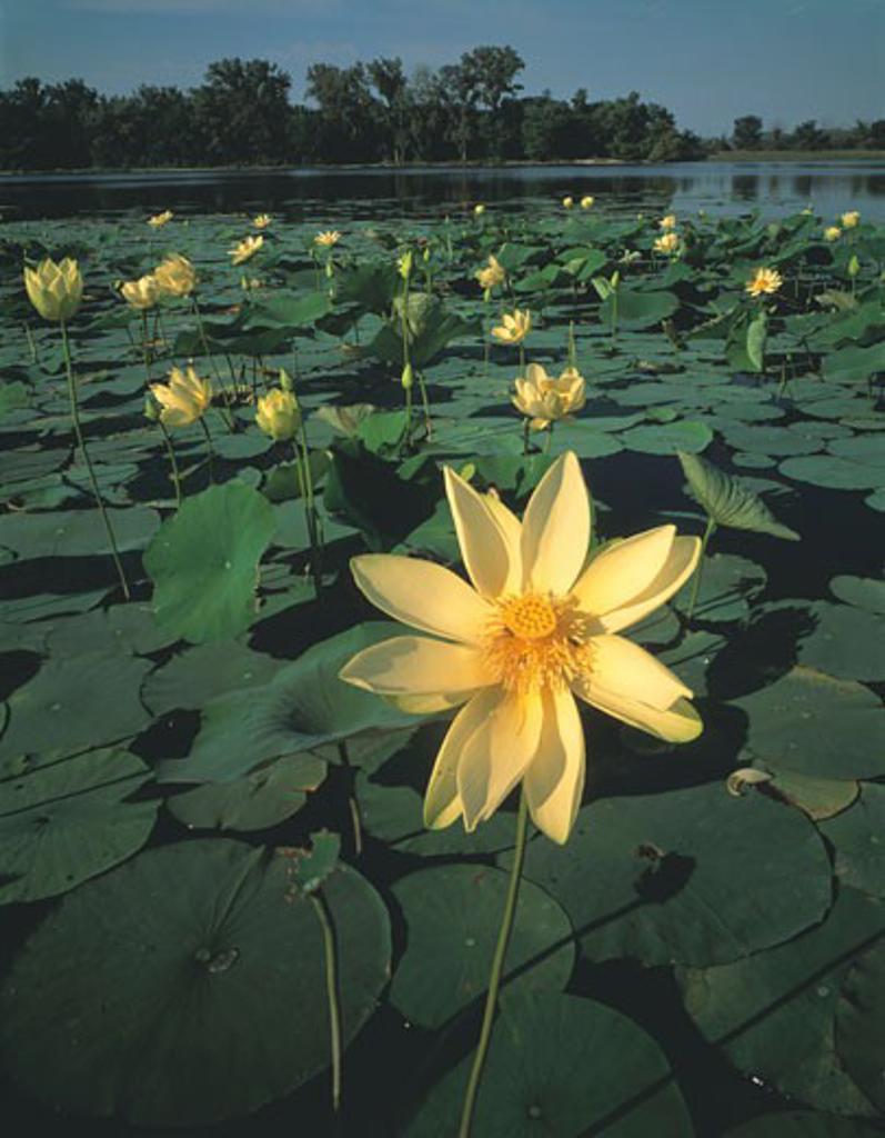Stock Photo: 1912-1372 American Lotus Blooms  De Soto National Wildlife Refuge  Missouri River  Iowa