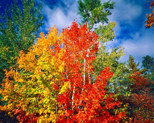 Stock Photo: 1912-1441 Autumn Maples at Rainy Lake  Voyaguers National Park  Minnesota