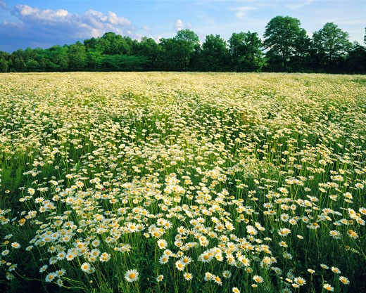 Oxeye Daisy Field at Sunset in Summer  Hunterdon County  New Jersey : Stock Photo