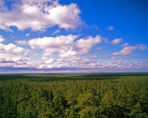 Pine Barrens in Spring seen from Apple Pie Hill  Wharton State Forest  New Jersey : Stock Photo