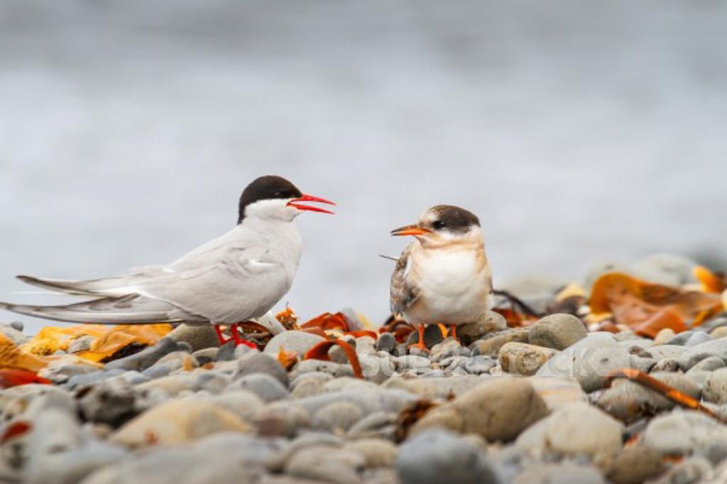 Arctic tern (Sterna paradisaea). Vatnsnes peninsula. Iceland. : Stock Photo