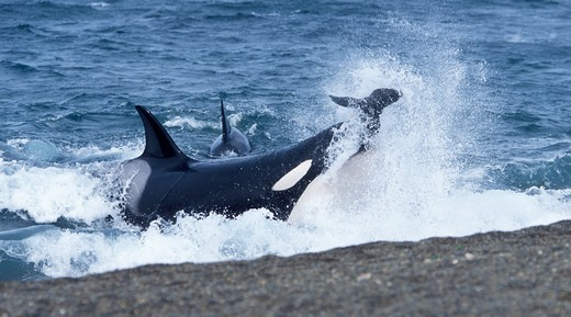 Stock Photo: 1916-6004 Argentina, Patagonia, Valdes Peninsula, Punta Norte, Killer Whale (Orcinus Orca) Hunting South American Sea Lion Pups