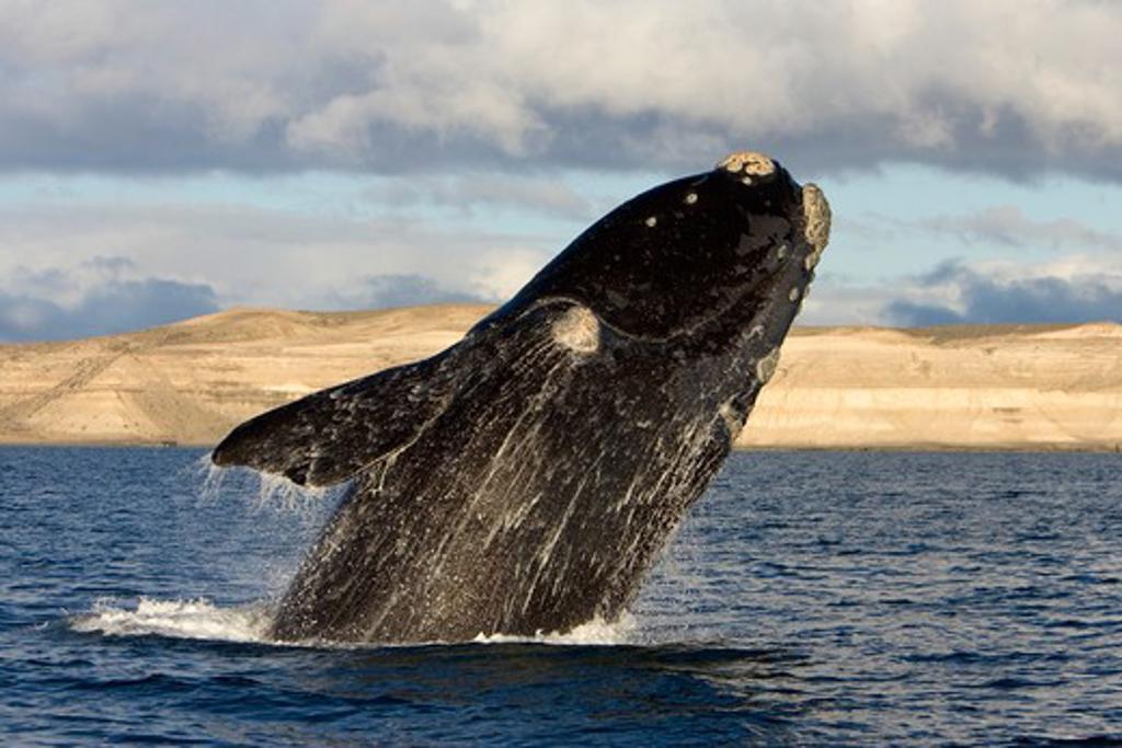 Argentina, Patagonia, Province Chubut, Valdes Peninsula, Southern Right Whale (Eubalaena Australis) Breaching : Stock Photo