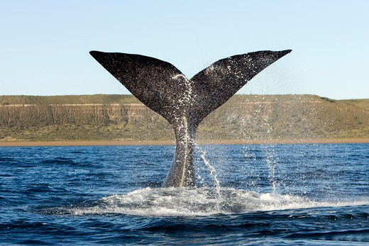 Stock Photo: 1916-6025 Argentina, Patagonia, Chubut Province, Valds Peninsula, Puerto Piramide, Southern Right Whale (Eubalaena Australis) Tail-Lobbing