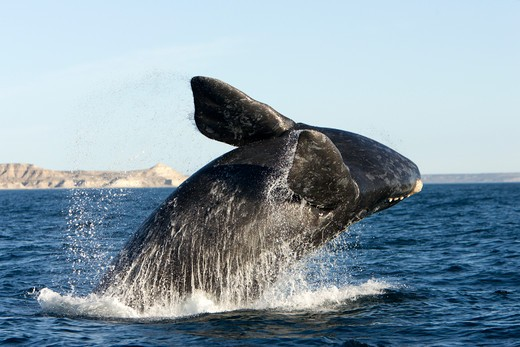 Stock Photo: 1916-6033 Argentina, Patagonia, Chubut Province, Valds Peninsula, Puerto Piramide, Southern Right Whale (Eubalaena Australis) Calf Breaching