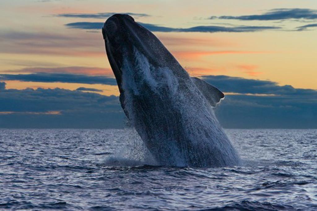 Argentina, Patagonia, Chubut Province, Valds Peninsula, Puerto Piramide, Southern Right Whale (Eubalaena Australis) Breaching : Stock Photo