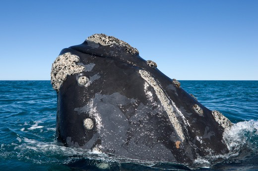 Argentina, Patagonia, Chubut Province, Valds Peninsula, Puerto Piramide, Southern Right Whale (Eubalaena Australis) Raising Forward Part of its Head Above Surface : Stock Photo