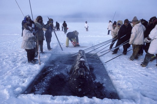 Stock Photo: 1916-6044 USA, Alaska, Barrow, California Gray Whale (Eschrichtius Robustus) Trapped in Ice Rescued by Local Inuit People