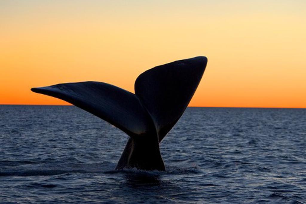 Argentina, Patagonia, Province Chubut, Valdes Peninsula, Southern Right Whale (Eubalaena australis), Tail flukes, at sunset : Stock Photo