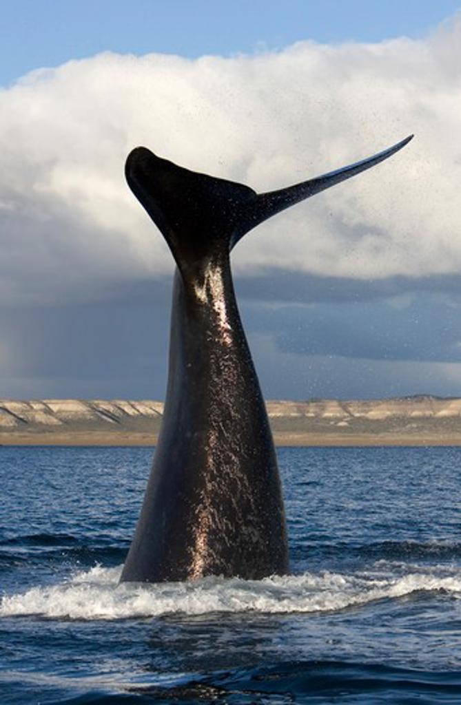 Stock Photo: 1916-6055 Argentina, Patagonia, Province Chubut, Valdes Peninsula, Southern Right Whale (Eubalaena australis)